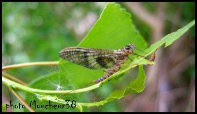 l'eccdyonurus venosus