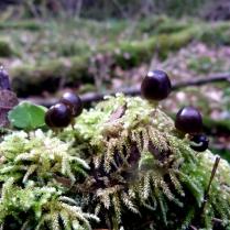 champignons sur souche